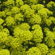 Alyssum Montanum Mountain Gold - Appx 350 seeds